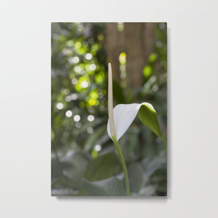 White Anthurium Lily Metal Print
