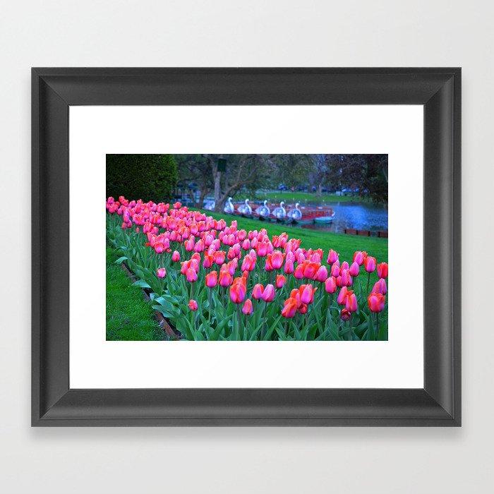 Boston Public Garden Tulips Framed Art Print