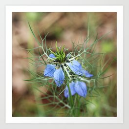 Blue Flowers Nigella Damascena Art Print