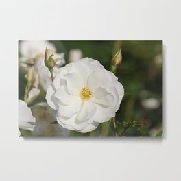 White Flowers and Buds by Reay of Light Photography Metal Print