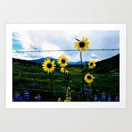 Mountain Sunflower in Crested Butte Art Print
