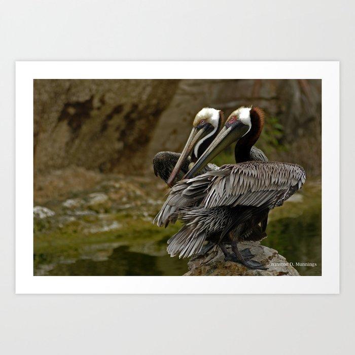 Brown Pelican Kunstdrucke