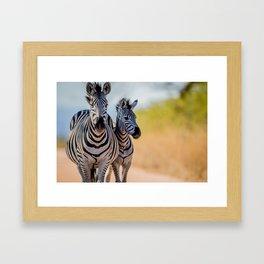 Bonding Zebras Framed Art Print