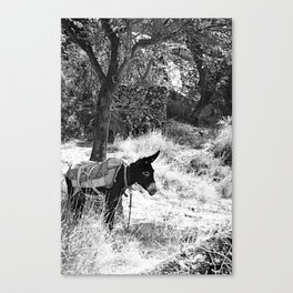 Turkish Donkey Canvas Print