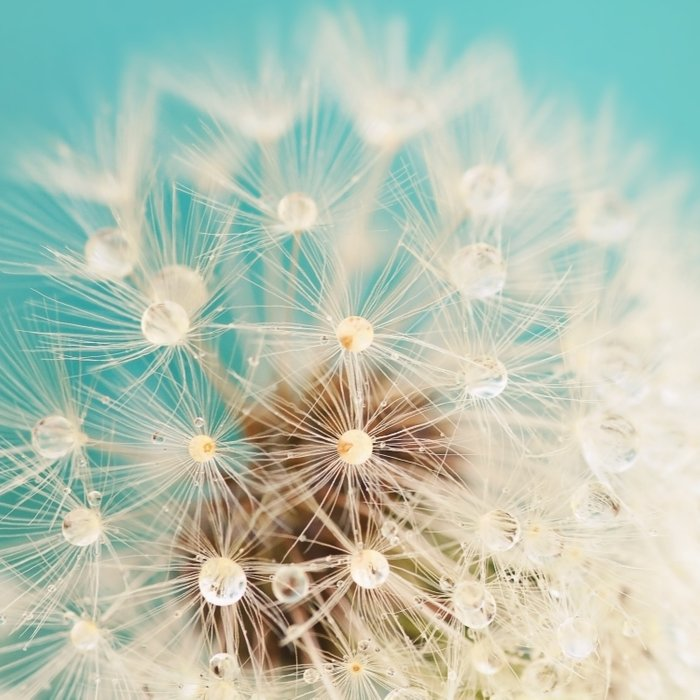dandelion with waterdrops Duvet Cover