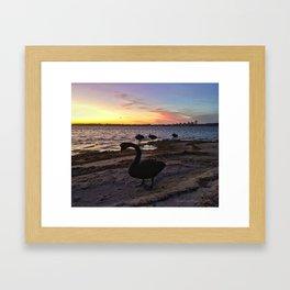 Sunset delight, black swans at night Framed Art Print