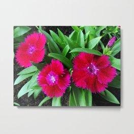 Fuchsia Dianthus Metal Print
