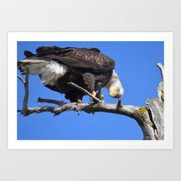 Alaskan Bald Eagle - Quizzical Art Print