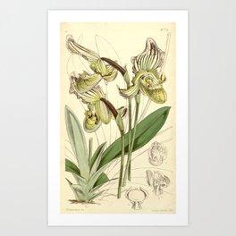 Paphiopedilum fairrieanum Art Print
