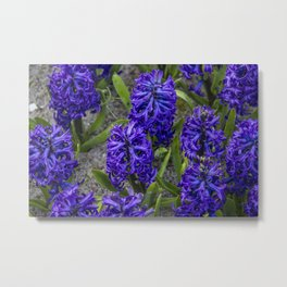 Close-up of Beautiful, Deep Purple Hyacinths in Amsterdam, Netherlands Metal Print
