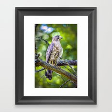 Broad wing Hawk Framed Art Print