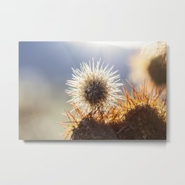 Cholla Cactus spines in the evening sun Joshua Tree National Park, California, USA Metal Print
