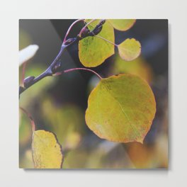 Aspens in Autumn Metal Print