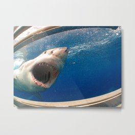 The great white shark, Carcharodon carcharias Metal Print