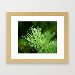 White pine branch Framed Art Print