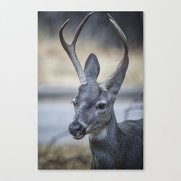 Buck with Two Pronged Antlers Canvas Print