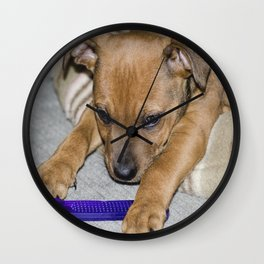 Staffie Portrait close up . Rikko. Wall Clock