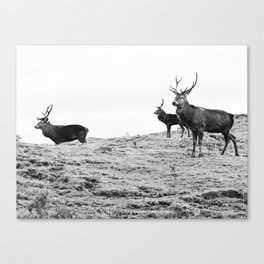 Stags on the hill Canvas Print