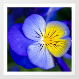 Pansy Close-up Square Art Print