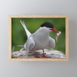 Arctic Tern with fish snack | Farne Islands, UK | Fine art bird photography Framed Mini Art Print