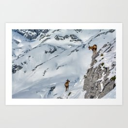 Chamois in the snow on the peaks of the National Park Picos de Europa in Spain. Art Print