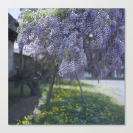 100-Year-Old Wisteria in the Spring Canvas Print