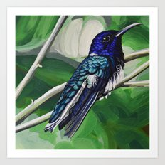 White-Naped Jacobin Hummingbird Art Print