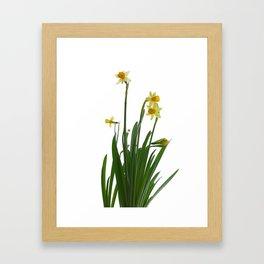 Narcissus flower Framed Art Print