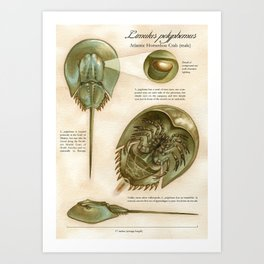 Atlantic Horseshoe Crab Art Print