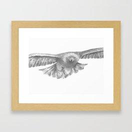 Golden eagle in flight, Aquila Chrysaetos Framed Art Print