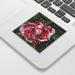 A Red and White Rose Sticker
