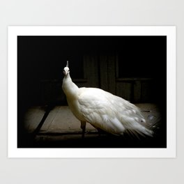 Elegant white peacock vintage shabby rustic chic french decor style woodland bird nature photograph Art Print