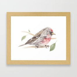 Bird - Male Common Redpoll Watercolour by Magda Opoka Framed Art Print