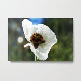 White Poppy in a field Metal Print