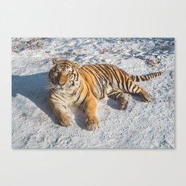 Tiger at its best Canvas Print