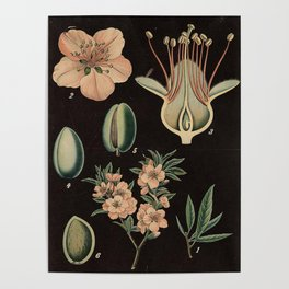 Botanical Almond Poster