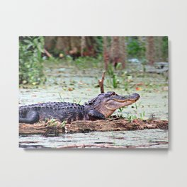 Alligator, Sunning on Rock Metal Print