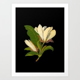 Magnolia Tripetala Mary Delany Delicate Paper Flower Collage Black Background Floral Botanical Art Print