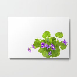 Bunch of Wild Violets Isolated on White Metal Print