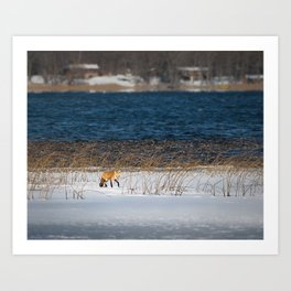 Red Tail Fox on Fish Hook Lake Art Print