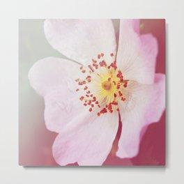 *Pinklight - Dog-rose Metal Print