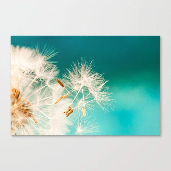 dandelion seeds blowing in turquoise Canvas Print