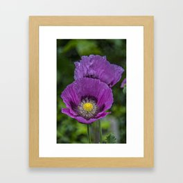Lilac Poppy Framed Art Print
