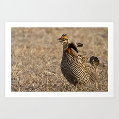 Greater Prairie Chicken Art Print