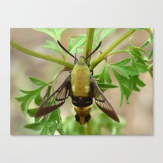 snowberry clearwing moth 2017 III Canvas Print