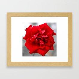 Rose in Red.... Framed Art Print
