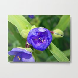 Beautiful Blue Spiderwort Metal Print