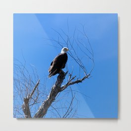Clear Sight (Bald Eagle) Metal Print