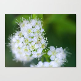 Bunches of White Canvas Print
