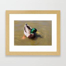 Swimming Mallard Framed Art Print
